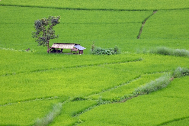 Terraced rice field at chiangmai northern thailand