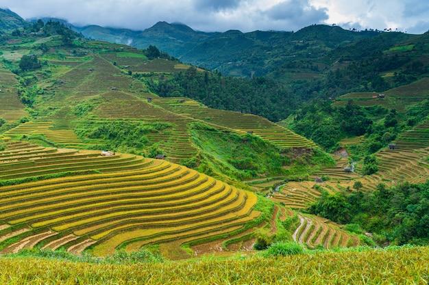 Terraced rice field in harvest season