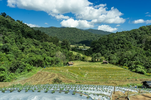 Terraces cultivated with vegetables in the middle of the forest