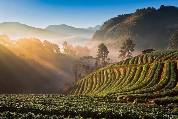 일출 아래 태국에서 쌀 필드의 테라스