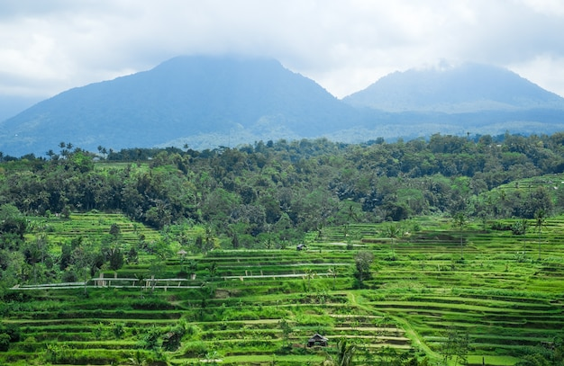 Terraces of rice fields in the jungle in bali, indonesia