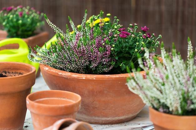 Горшки для цветов из терракоты с осенней осенней композицией с хризантемами и вереском на заднем дворе