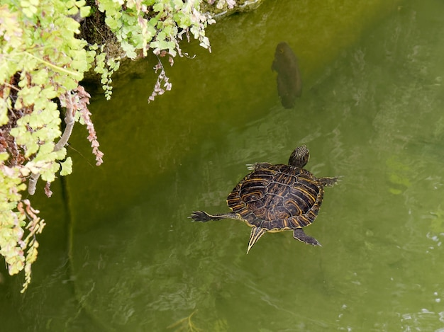 Terrapin in the moat around the bandstand in tavira portugal