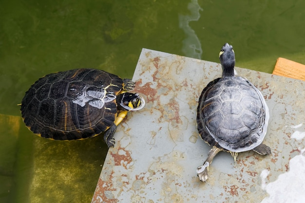 Terrapins in the moat around the bandstand in tavira portugal