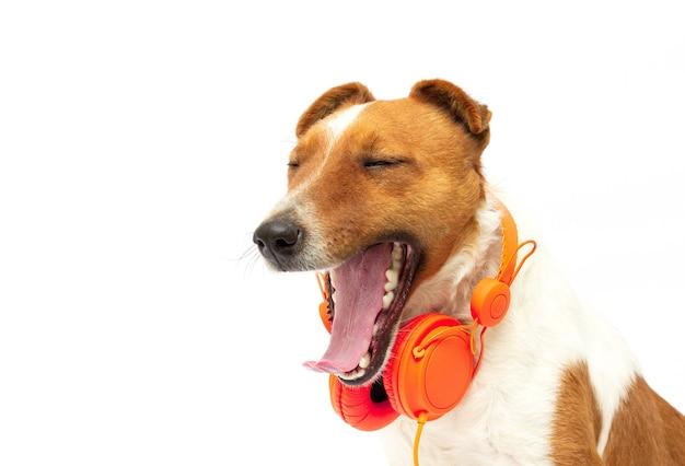 Terrier listening to music on headphones