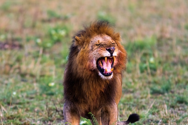 Страшный рев льва. масаи мара, кения. африка