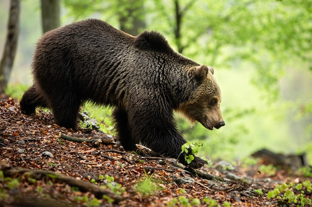 Territorial brown bear walking down the hill on ground covered with leaves