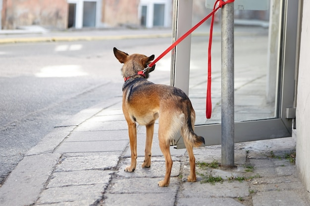 Tethered dog is waiting for its owner at the entrance to the store