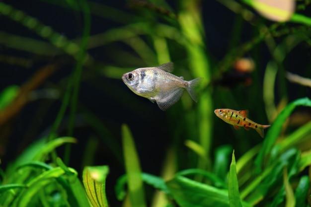 녹색 배경에 수족관에서 테트라 물고기