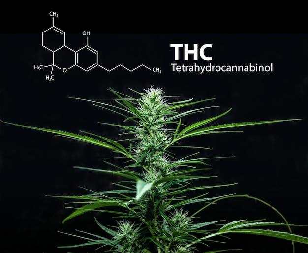Tetrahydrocannabinol or thc molecule formula with marijuana, cannabis sativa.