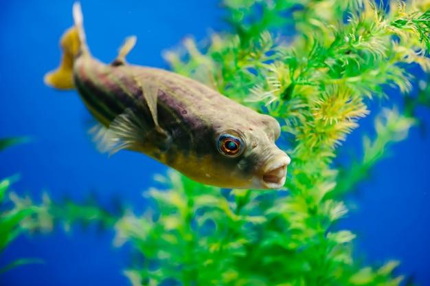 Tetraodon lineatusは、水槽のクローズアップに浮かんでいます。黄色の歯のような略奪的な魚。