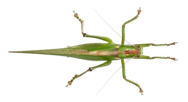 Tettigonia viridissima, большой зеленый куст-крикет, на белом изолированные