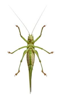 Tettigonia viridissima - большой зеленый кустарник-крикет, является разновидностью кустового крикета