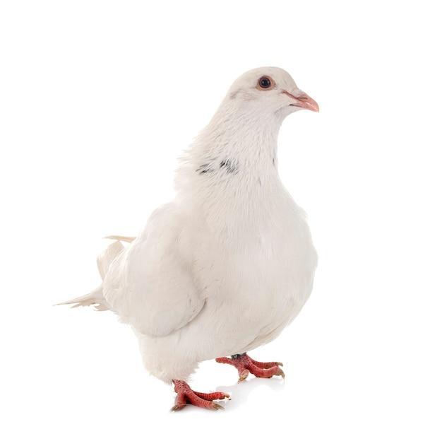 Техасский голубь на белом фоне