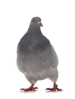 Техасский голубь перед белой поверхностью