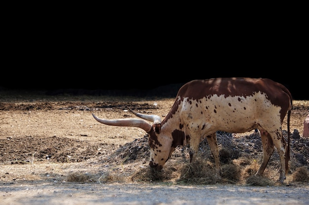 Texas longhorn cow in a nature park.
