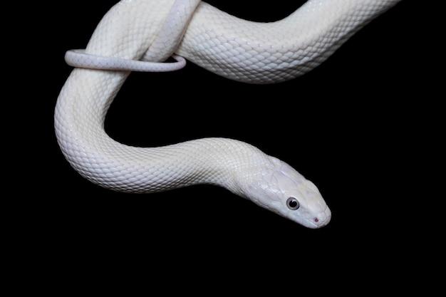テキサスネズミヘビ(elaphe obsoleta lindheimeri)