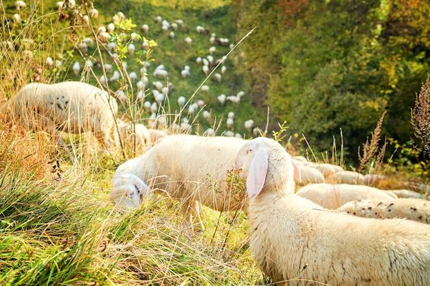 テクセルクロス雌羊、秋の緑豊かな牧草地の雌羊。