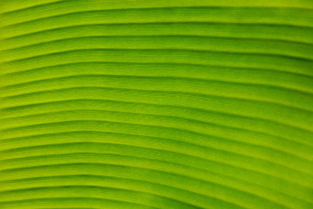 Texture background of backlight fresh green banana leaf.