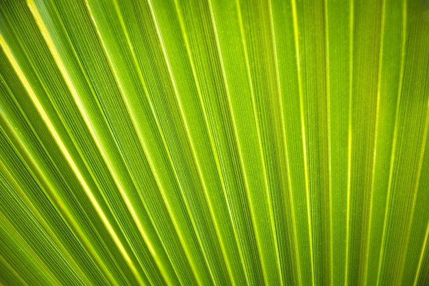 Texture background of backlight fresh green palm leaf.