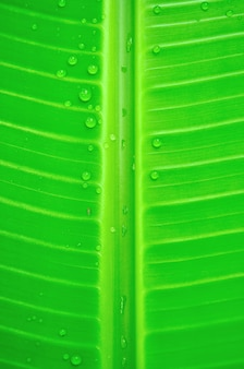 Texture background of banana leaf