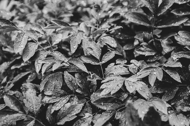 빗방울과 이슬이 있는 잎의 질감 배경 흑백 사진
