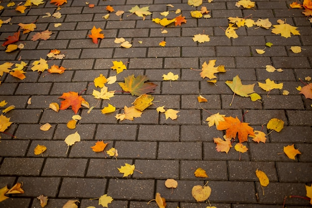 Texture, background fallen yellow autumn maple leaves lie on a tile of a park path in an autumn park on a sunny day.