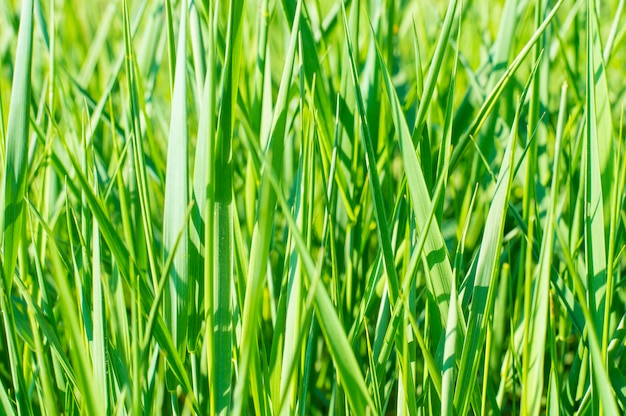 Texture background green grass