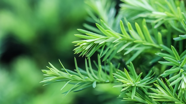 Texture background pattern of green growing branches of decorative coniferous evergreen yew tree