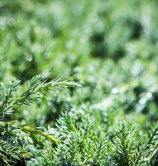雨と装飾的な針葉樹常緑ジュニパーの緑の枝のテクスチャ背景パターン