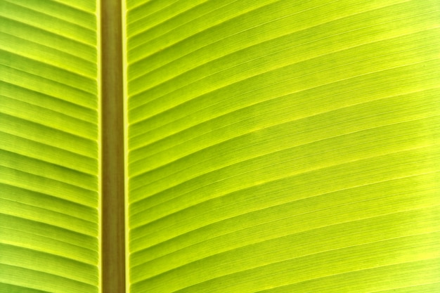 Texture of banana leaf have beautiful green line