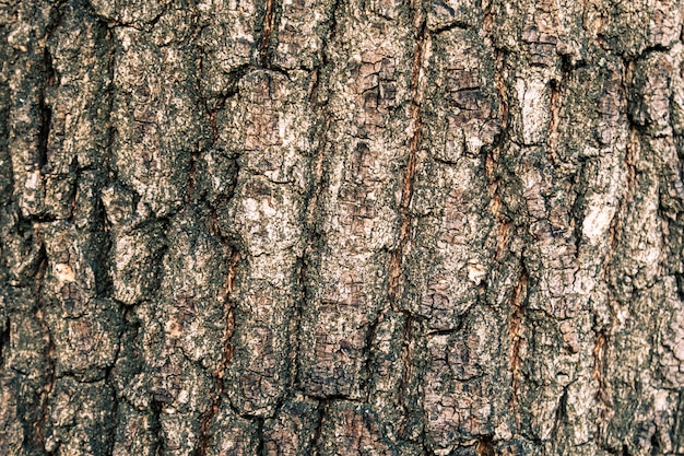 Texture of the bark of an oak tree