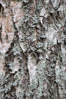 Texture of bark wood use as natural background. texture of spruce and pine.
