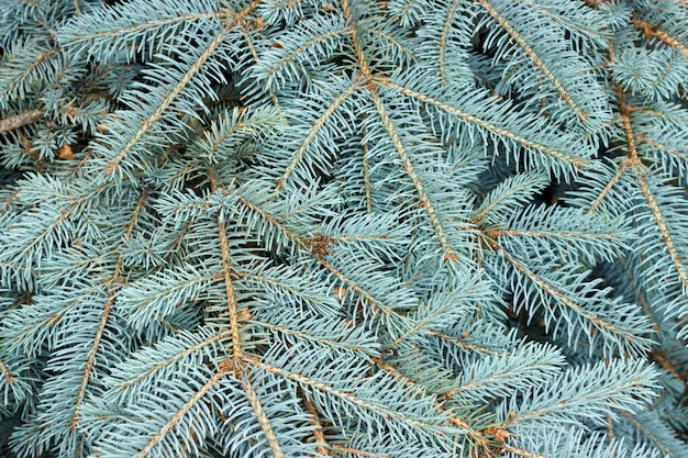 Texture of blue pine branches background