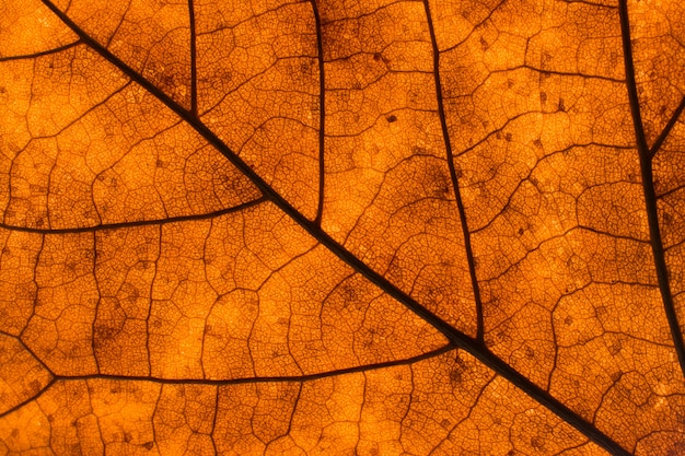 Texture of a dead leaf in autumn