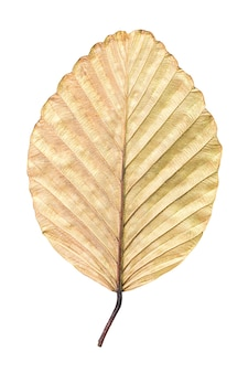 Texture of dry brown leaf isolated on white