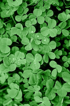Texture - fresh green leaves of clover