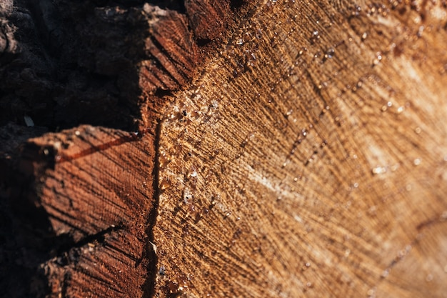The texture of a fresh sawn wood with growth rings closeup of round trunk with drops of resin
