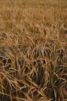 Texture of golden wheat crops growing in the field