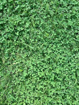 Текстура зеленое поле клевер