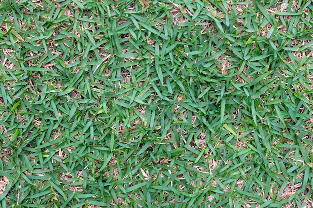 Texture of green grass planted in the garden.