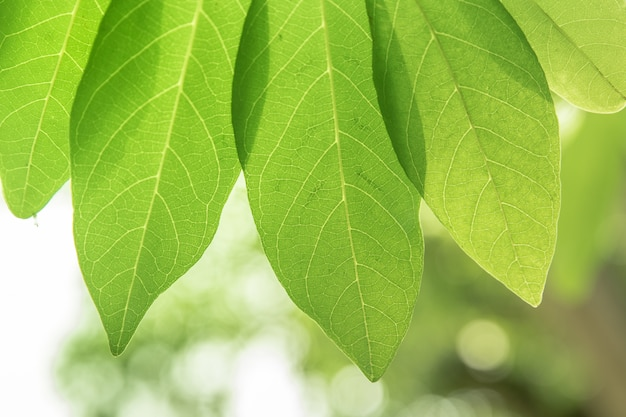 The texture of green leaves with pass through of sunlight.