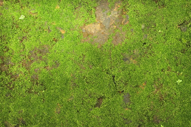 Texture of green moss on stone wall background