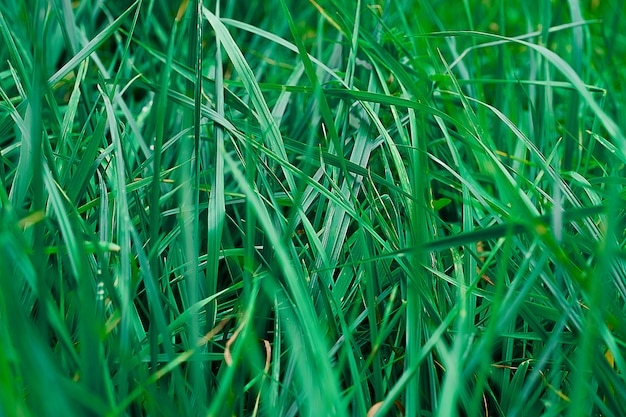 Texture of green summer grass.