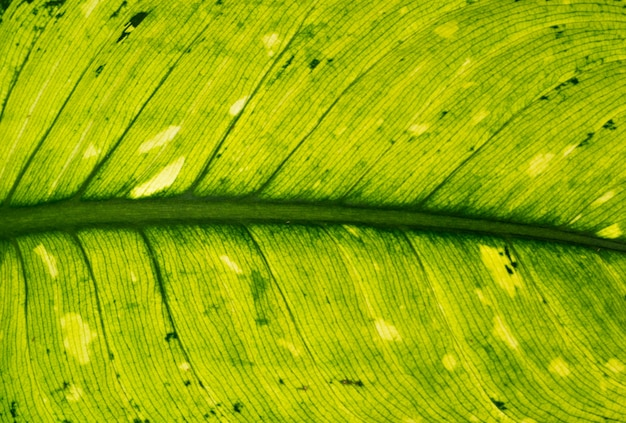 Texture of green tropical leaf.