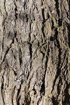 Texture of  grey  bark
