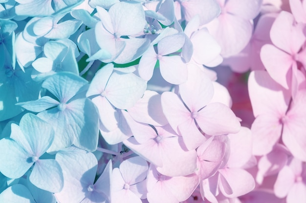 Texture of hydrangea flowers in nature with soft focus, macro. delicate floral background in light blue and pink pastel colors.