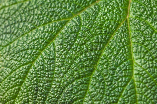 Texture of a large tropical green leaf with white line.