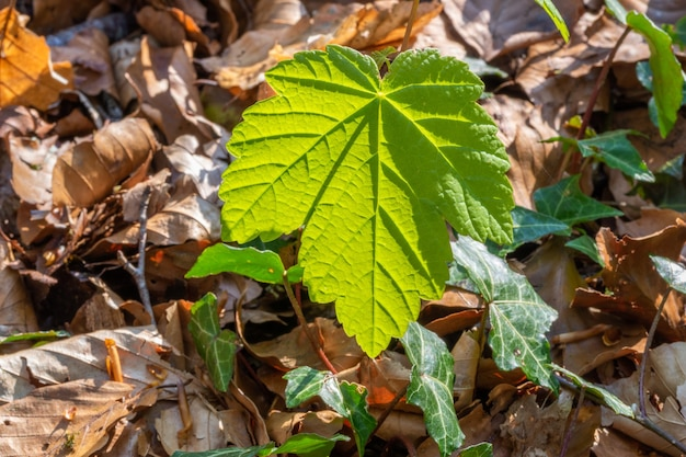 Texture of maple leaf in natural light against brown fallen leafs.