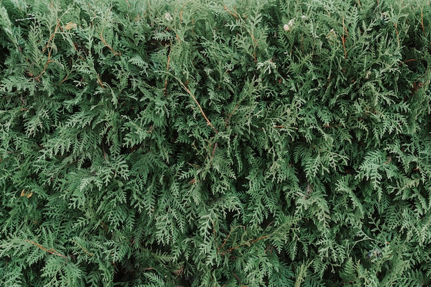 緑の植物のクローズアップのテクスチャ、thujaの一部